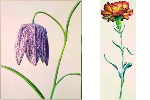 'Fritillaria Meleagris', 1981 and 'Allwoods Carnation', 1962 by Rory McEwan