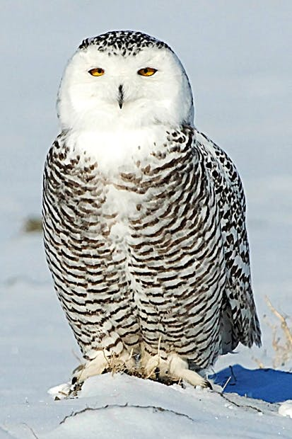 snowy owl - Picture Of Owl