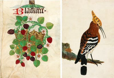 Left: 'Blackbere' from Helmingham Herbal and Bestiary, c. 1500. Right: Common Hoopoe, c. 1789, by William Lewis