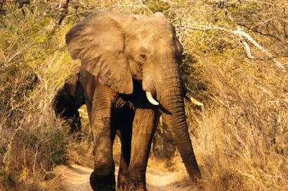 Jumbo-sized: the first of the Big Five makes an appearance