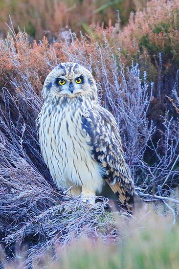 A short-eared owl in the Highlands, one of many predators still being killed by gamekeepers