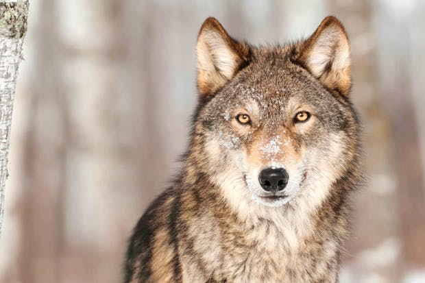 Image result for wolf""