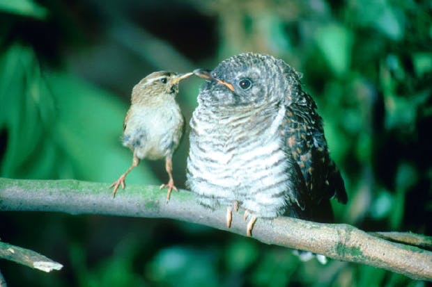 Cuckoo chick with wren parent