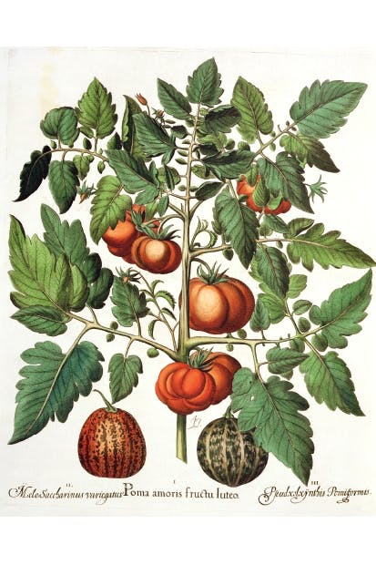 Tomatoes and melons from the garden of the Prince Bishop of Eichstatt (German school, 17th century)
