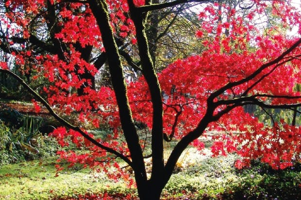 Acer palmatum 'Osakasuki', the Japanese maple