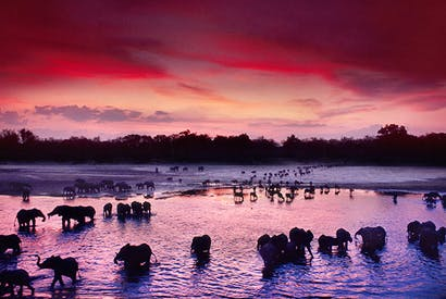 Red sky of warning: Elephants and Cape buffaloes cross the Luangwa River