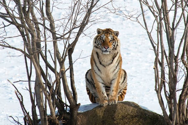 Tracking the great Siberian tiger | The Spectator