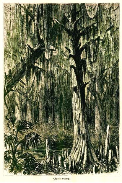 Cypress swamp alongside the river
