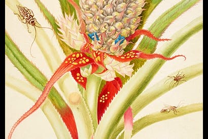 'Pineapple with cockroaches', 1702–03, by Maria Merian
