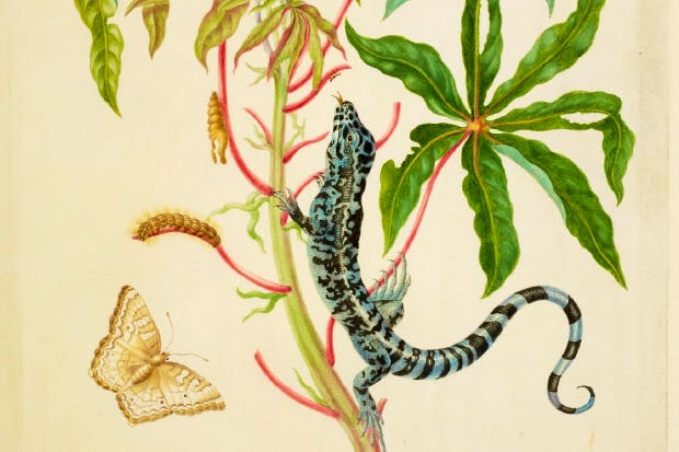 'Cassava with White Peacock Butterfly and young Golden Tegu', 1702–3, by Maria Merian