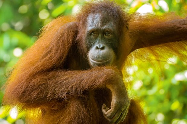 going ape with boredom in captivity the spectator