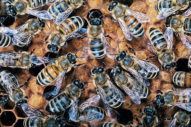 The waggle-dance of the honeybees