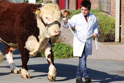 A Year 7 pupil from The Elms with one of its prize-winning Hereford cattle