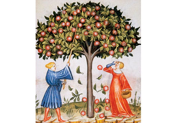 Harvesting apples, illustrated in the medieval handbook Tacuinum Sanitas — which stresses the fruit's medicinal properties