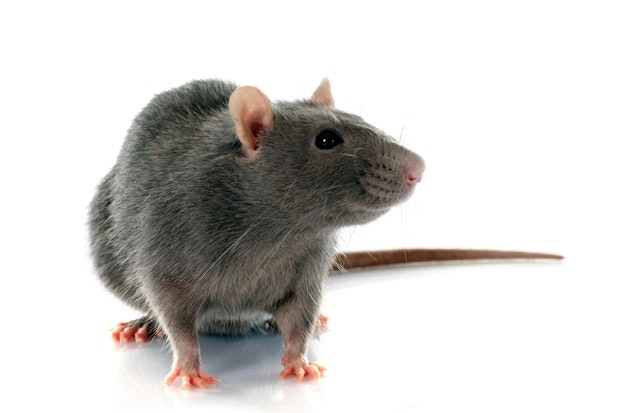Let's hear it for rats | The Spectator