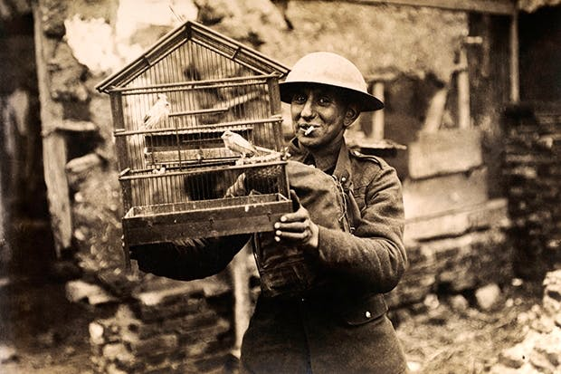 A Tommy rescues two canaries from a ruined house on the Western Front in 1915. Canaries were treasured not only as gas detectors but also in ambulance trains, where their song comforted wounded soldiers