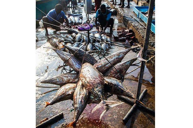 Massacre of the tuna. 'To eat a tuna is equivalent to eating a tiger' says Jonathan Balcombe
