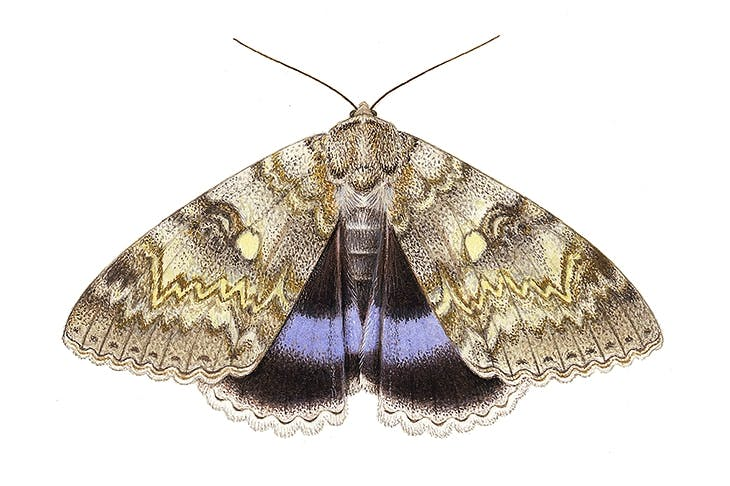 The magnificent Clifden Nonpareil — or Blue Underwing — faced extinction as a breeding species in Britain. There are now at least four colonies thriving in Sussex