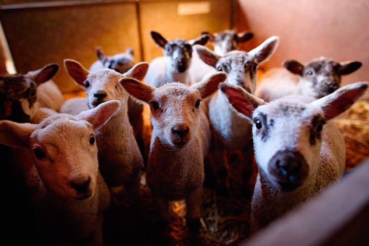 Sheep thrills: holidaying on a working farm