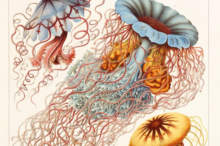 'Cnidarians' from Haeckel's book Art Forms in Nature, 1899–1904