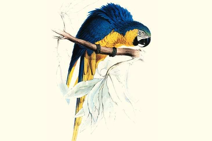 Blue and Yellow Macaw, c.1834