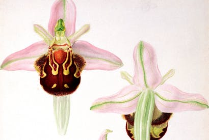 The bee orchid, by Franz Andreas Bauer. Its sex life is far beyond the dreams of most teenage boys