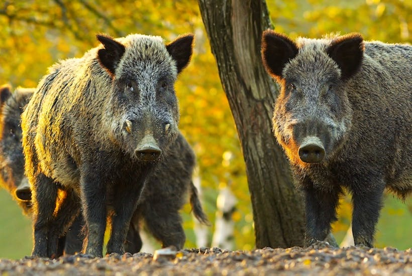 the perils of the boar hunting season the spectator