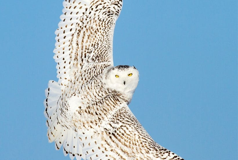 The elusive snowy owl in flight