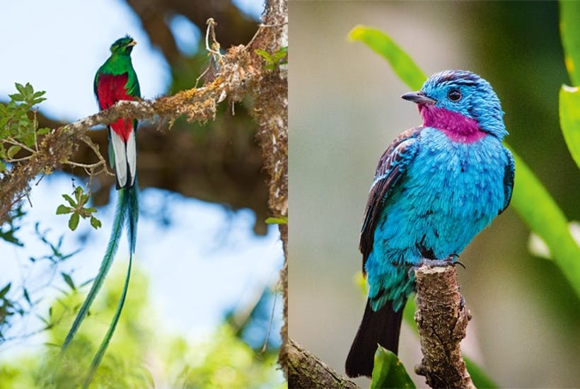 95157ec70bab Above: The Spangled Cotinga of the Amazon Rainforest is one of the seven  species known