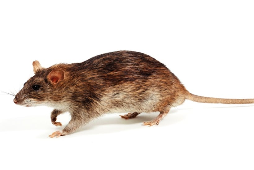 the eradication of south georgia s rats proves we can do anything