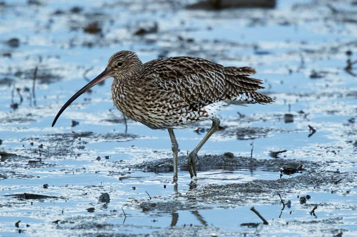 Forty years ago, curlews were ubiquitous on British coasts in winter. But mechanised farming and the use of chemicals have spelt disaster