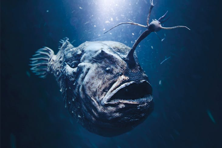 Let there be light: the Atlantic footballfish dwells 3,000 feet below the surface of the ocean. [Paulo Oliveira / Alamy Stock Photo]
