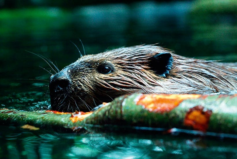 As a result of willow-munching, beavers secrete salicylic acid — the active ingredient in aspirin