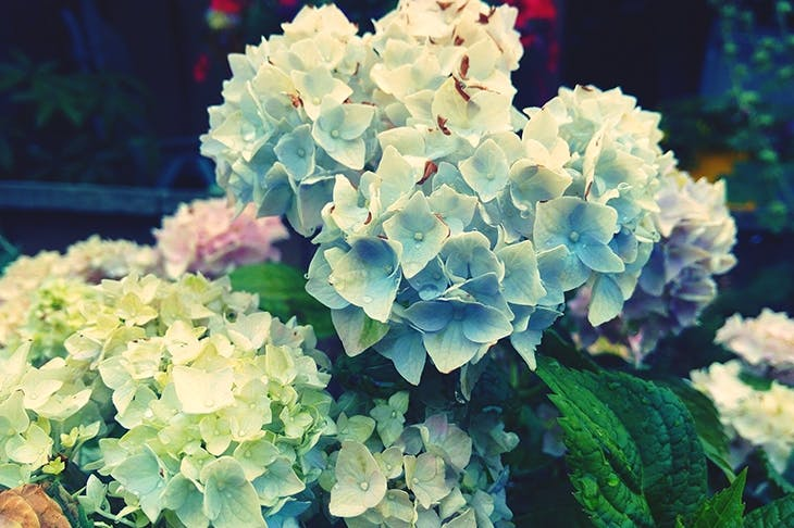 Blue Hydrangeas (Image: Getty)