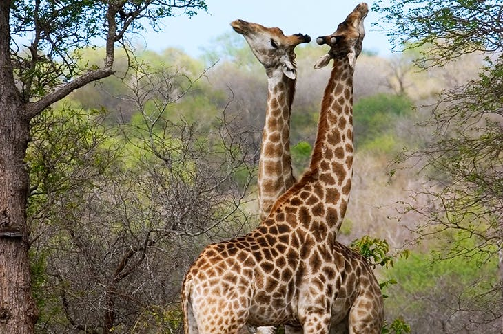 The majority of sexual encounters in giraffes involve two males necking
