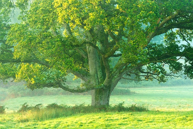 why the british love the oak tree the spectator