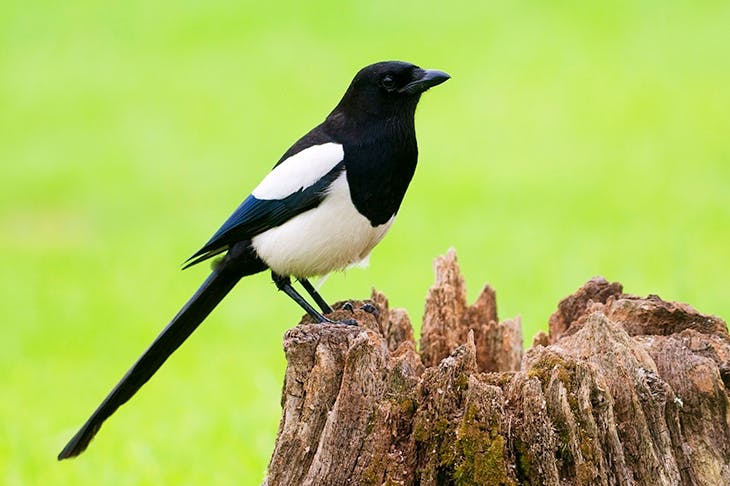 Did 'haggis' steal its name from thieving magpies?