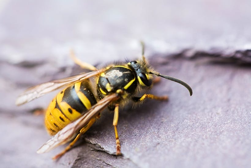A wasp (insect)